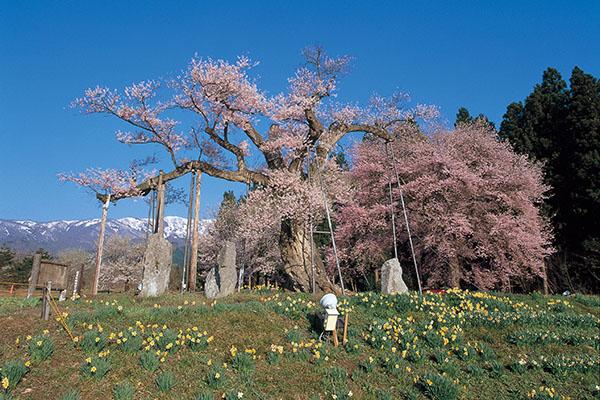 釜の越桜_b